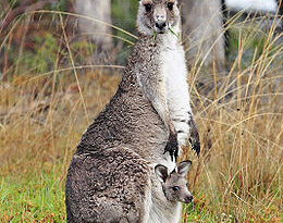 260px Kangaroo and joey03